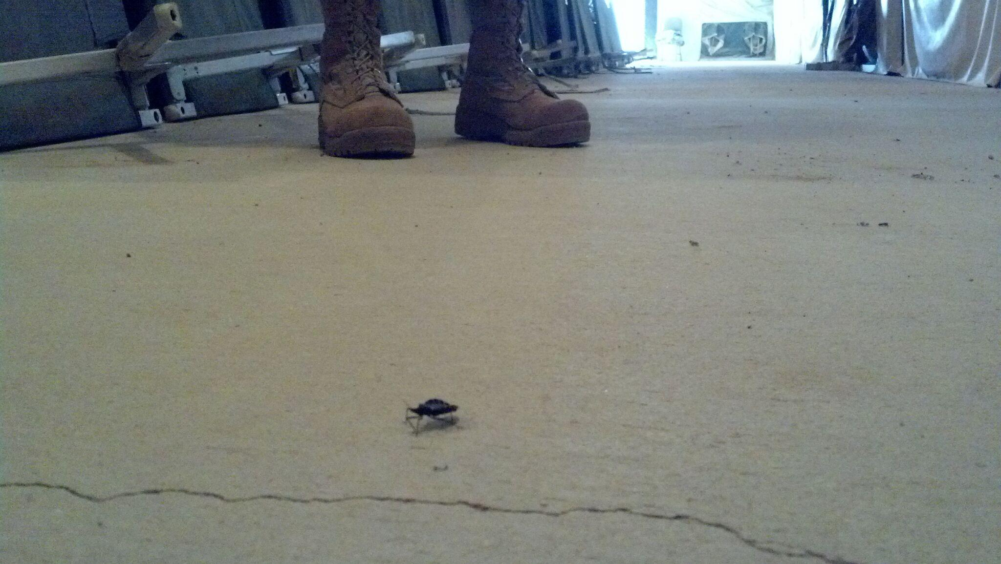 A kissing bug on the floor of camping barracks