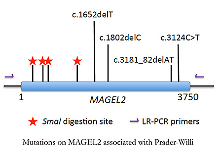 Mutations on MAGEL2 associated with Prader Willi